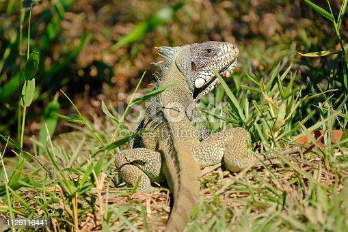 istock Green Iguana, Iguana Iguana, also known as the American Iguana, Pantanal, Porto Jofre, Mato Grosso, Brazil 1129116441