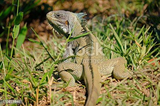 istock Green Iguana, Iguana Iguana, also known as the American Iguana, Pantanal, Porto Jofre, Mato Grosso, Brazil 1129116451