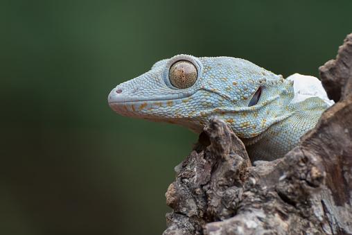 Gekko gecko, the tokay gecko, is a crepuscular arboreal gecko in the genus Gekko