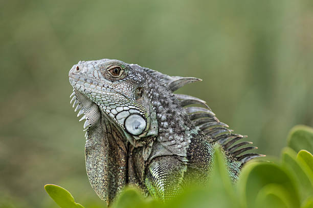 Green Iguana in Florida Keys stock photo