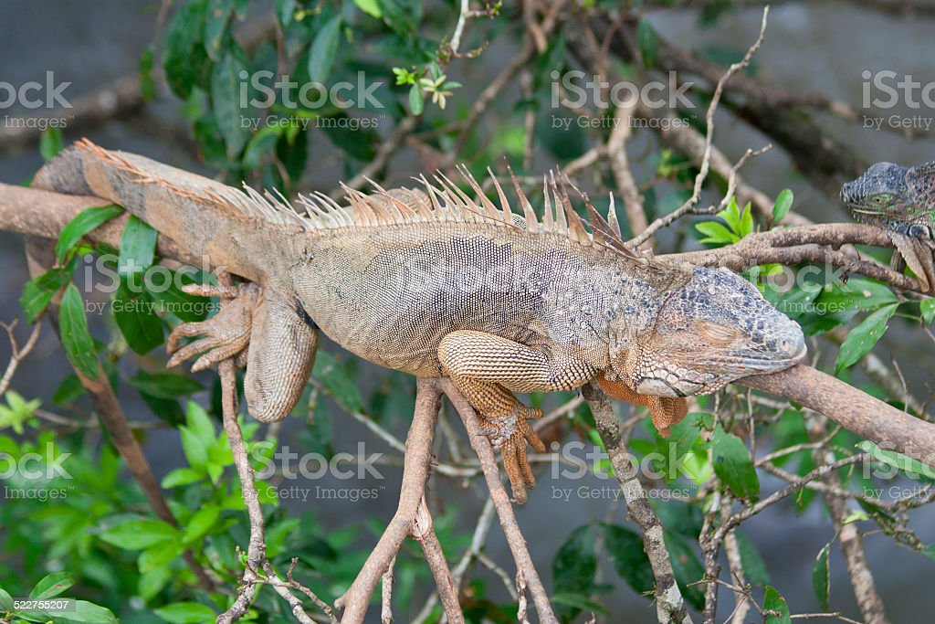 Green Iguana in tropical rainforest of Costa Rica stock photo