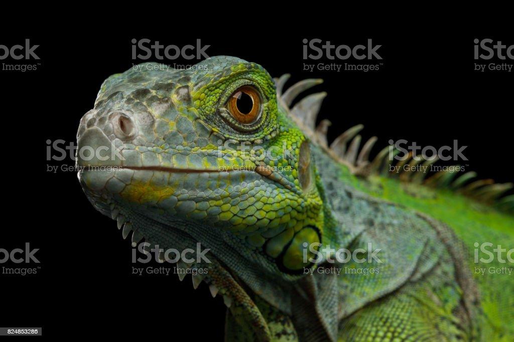 Iguana verde isolada no fundo preto foto royalty-free