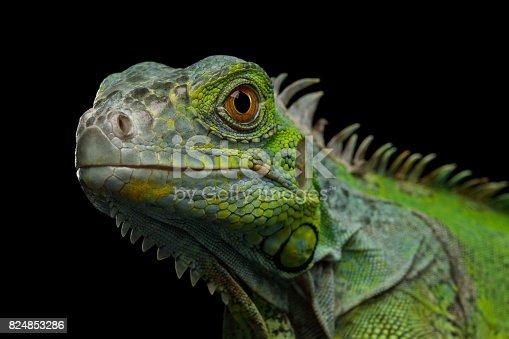 istock Green iguana isolated on black background 824853286