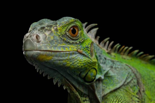 검은 배경에 고립 된 녹색이 구 아나 - 파충류 뉴스 사진 이미지