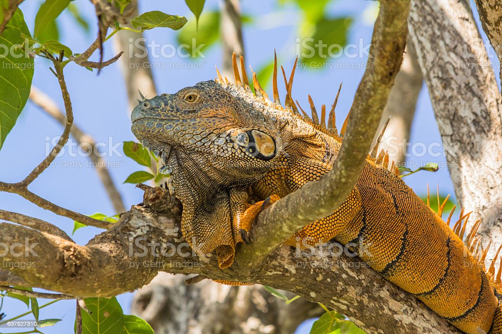 Green Iguana laying in a tree in Belize stock photo
