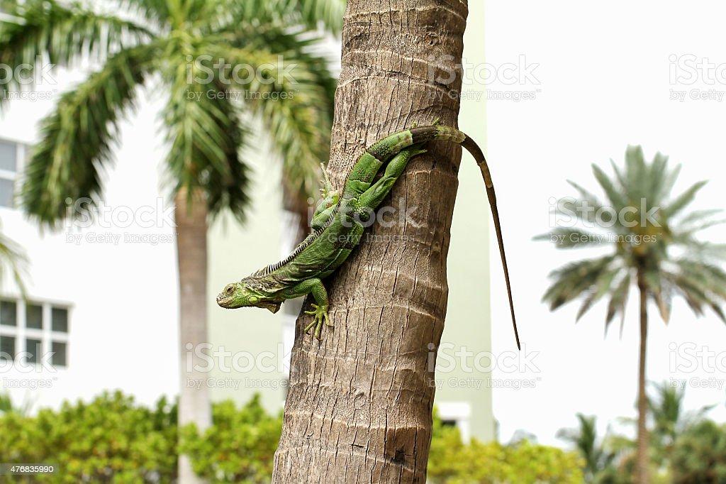 green iguana on a palm tree stock photo