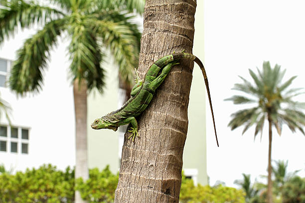 green iguana on a palm tree Common green iguana living in a residential neighborhood dorsal fin stock pictures, royalty-free photos & images
