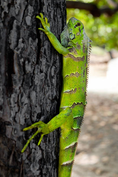 Grüner Leguan auf einem Baum – Foto