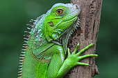Green Iguana profile