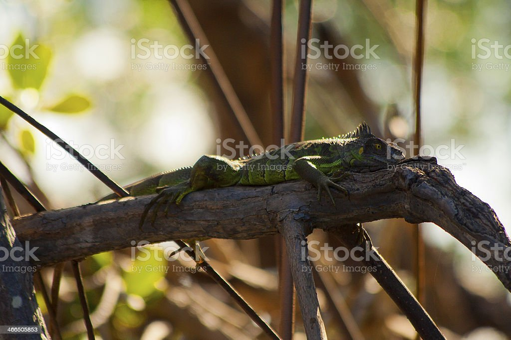 Green Iguana on Branch royalty-free stock photo