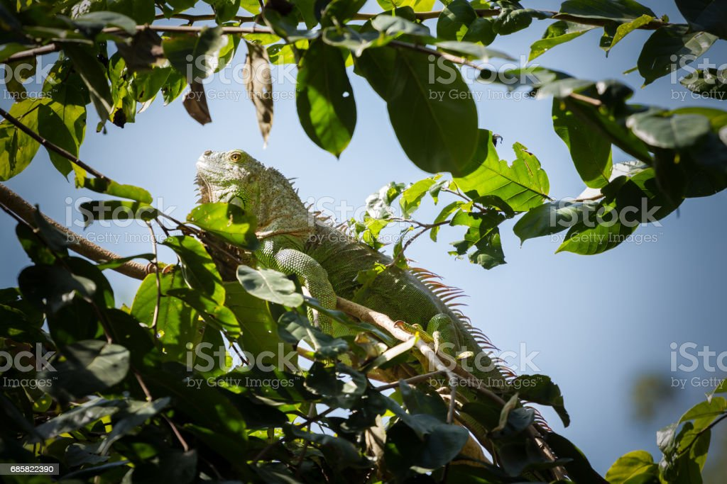 green iguana on the tree stock photo