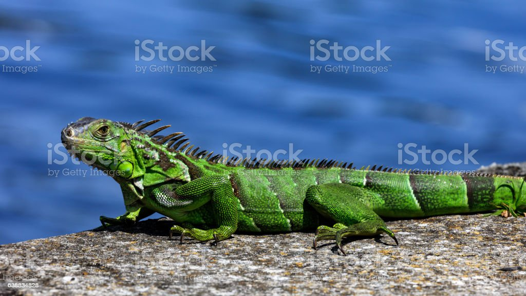 Green iguana on top of  wall, portrait,  water in  background stock photo