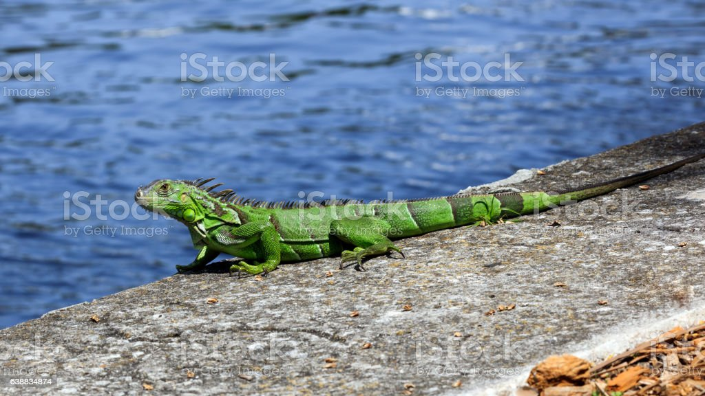 Green iguana on top of  wall, water in  background stock photo