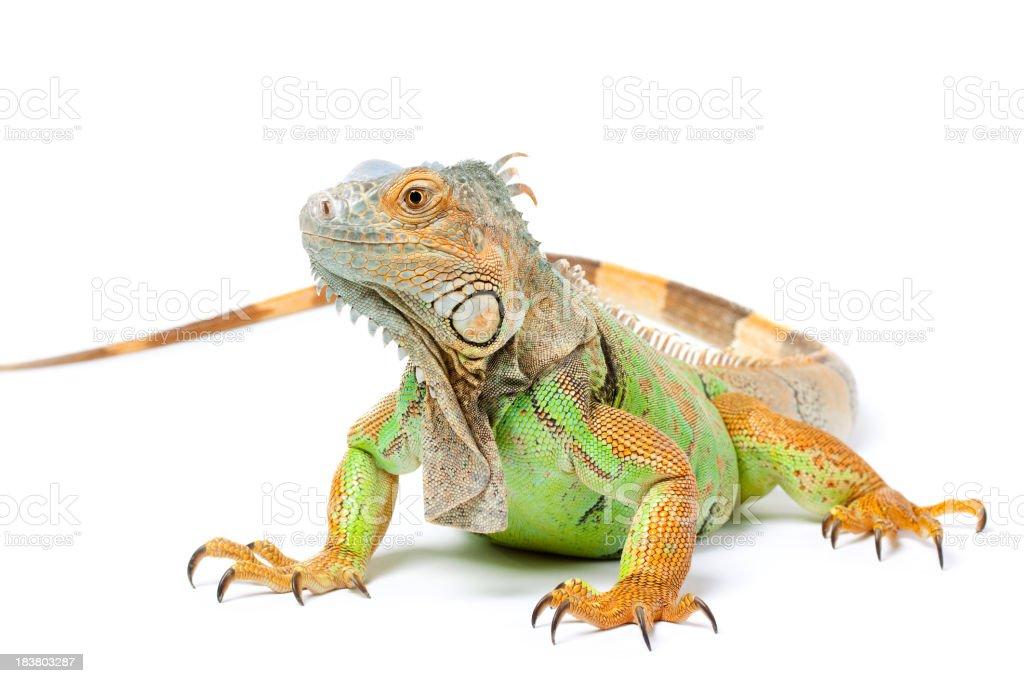 Green Iguana on White royalty-free stock photo