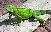 Green Iguana, Oranjestad, Aruba