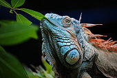 close-up of a green iguana (iguana iguana) also known as the American iguana