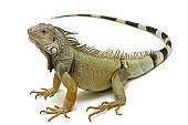 Four years old green iguana on white background.