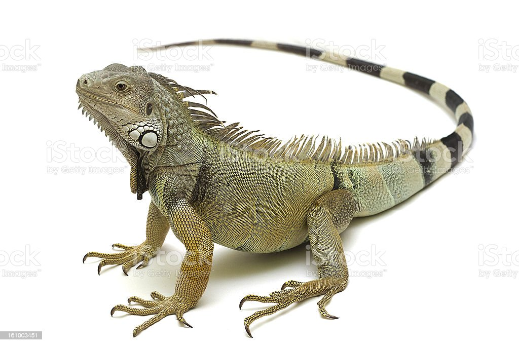 Royalty Free Green Iguana Pictures, Images and Stock ...