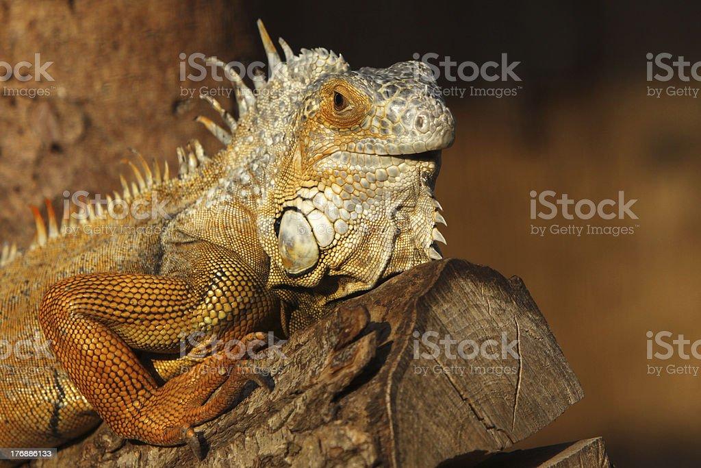 Green iguana (brown copy) stock photo
