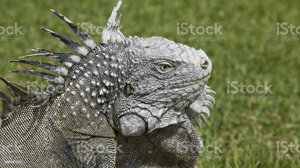 Green iguana royalty-free stock photo
