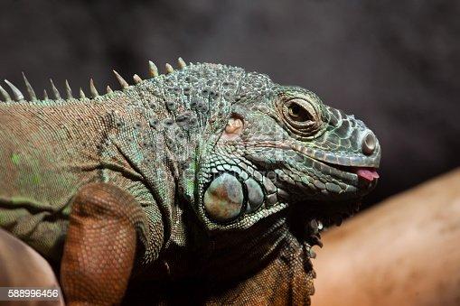 istock Green iguana (Iguana iguana). 588996456