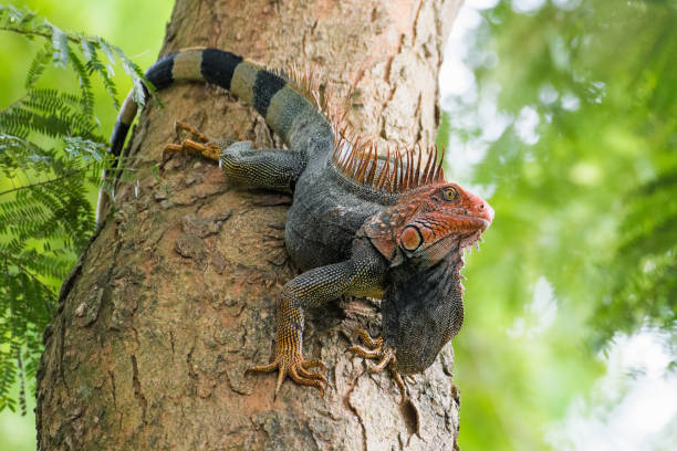 green iguana - wildlife conservation stock photos and pictures