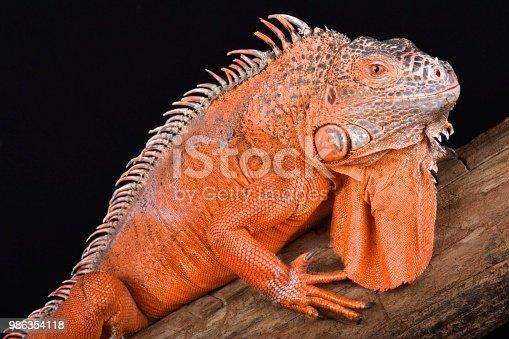 istock Green iguana (Iguana iguana) 986354118