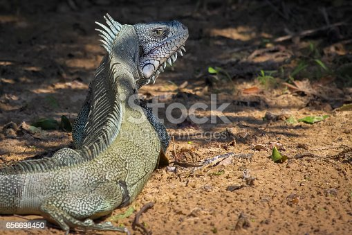 istock Green Iguana resting in the half shadow on the ground 656698450