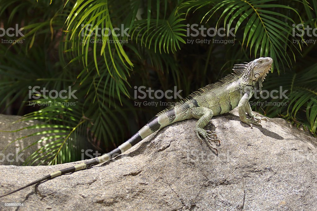 Green Iguana resting on a rock in a tropical climate stock photo