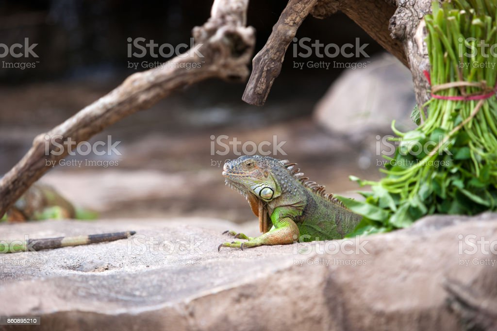 Green iguana sitting still on rocky ground. stock photo