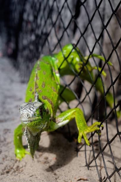 Grüner Leguan, gefangen in einem Maschendrahtzaun – Foto