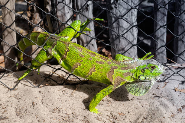 Grüner Leguan, gefangen in einem Maschendraht Zaun – Foto