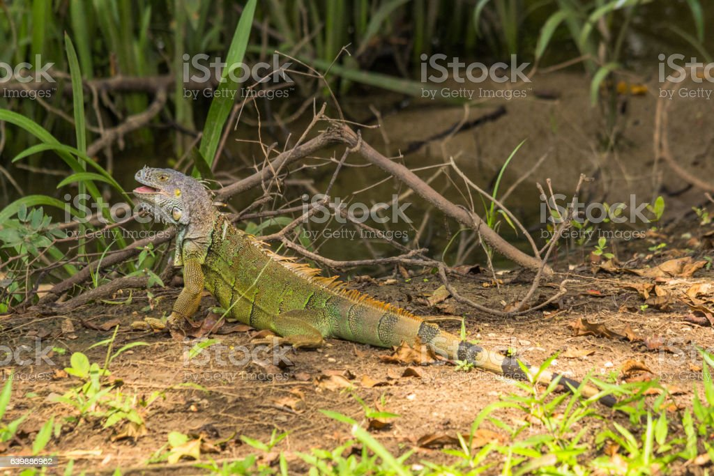 Green iguana walking the waterside of the old Belize river stock photo
