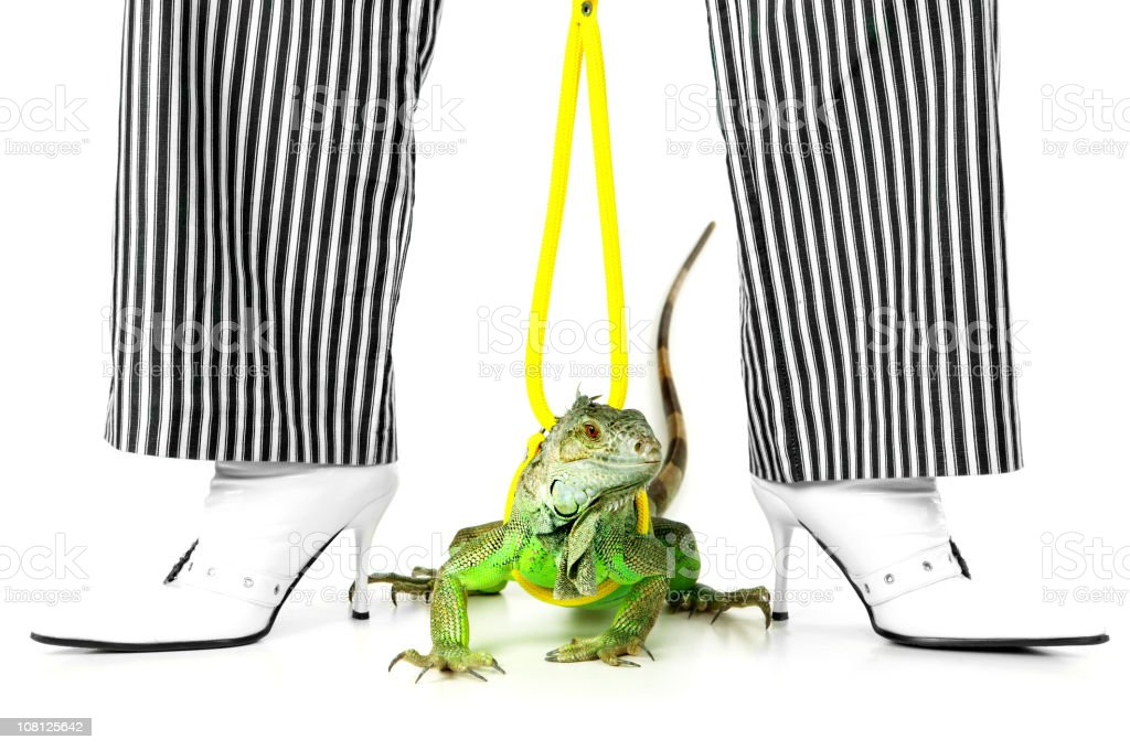 Green Iguna on Leash Between Striped Trouser Legs and Boots royalty-free stock photo