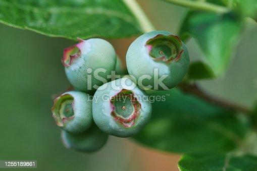 istock Green immature blueberry fruits texture macro 1255189861