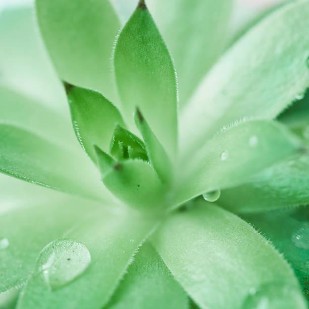 Green in Spring,Aloe Sap stock photo