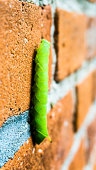green inchworm climbing up house wall