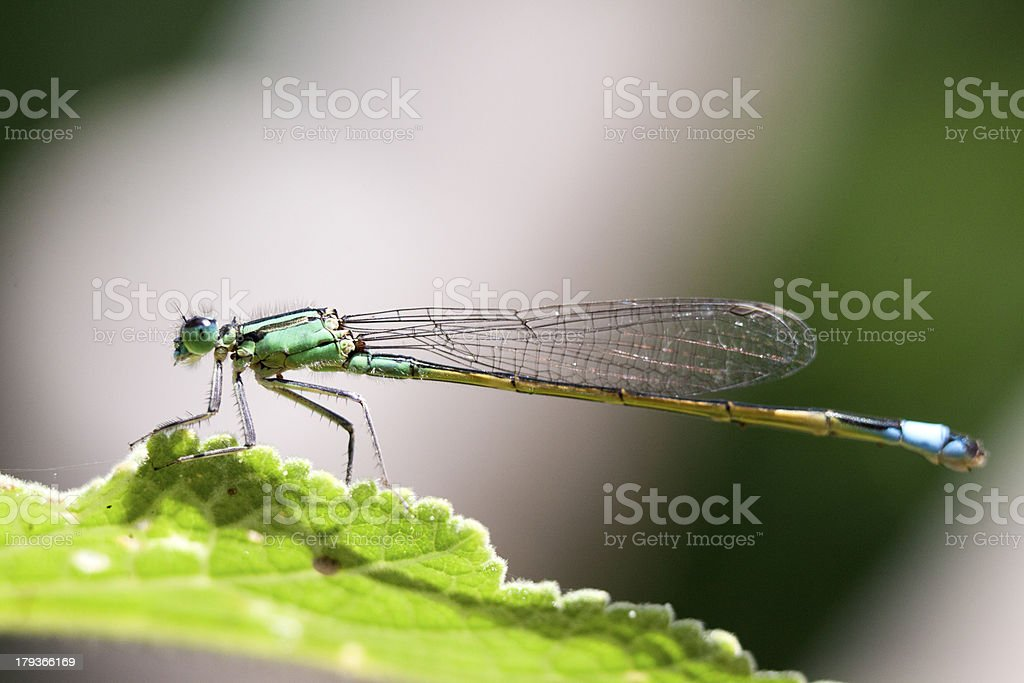 Green insect royalty-free stock photo