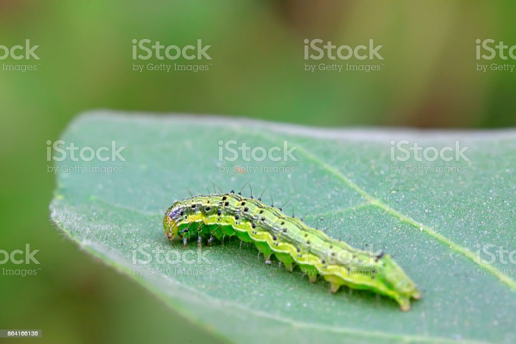 green insects on the leaf, closeup of photo royalty-free stock photo