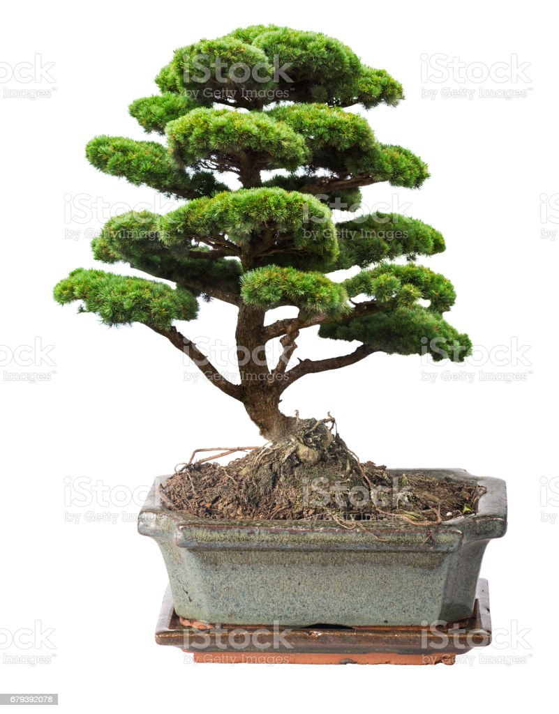 green isolated bonsai pine tree in pot royalty-free stock photo