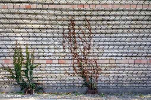 Green ivies plant on brick wall