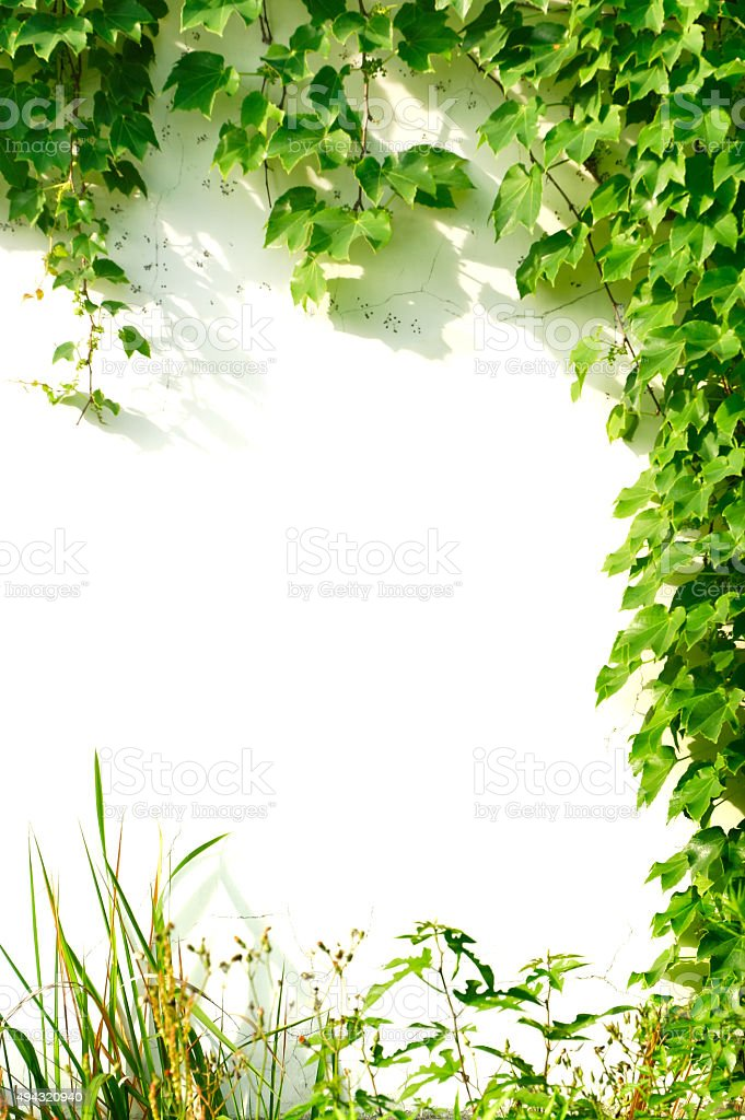 Green ivies plant on white wall stock photo