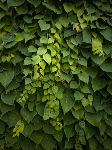 grünen efeu pflanzen an der wand - glitter farbige wände stock-fotos und bilder