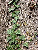 A branch of green ivy climbing on the bark of a tree.