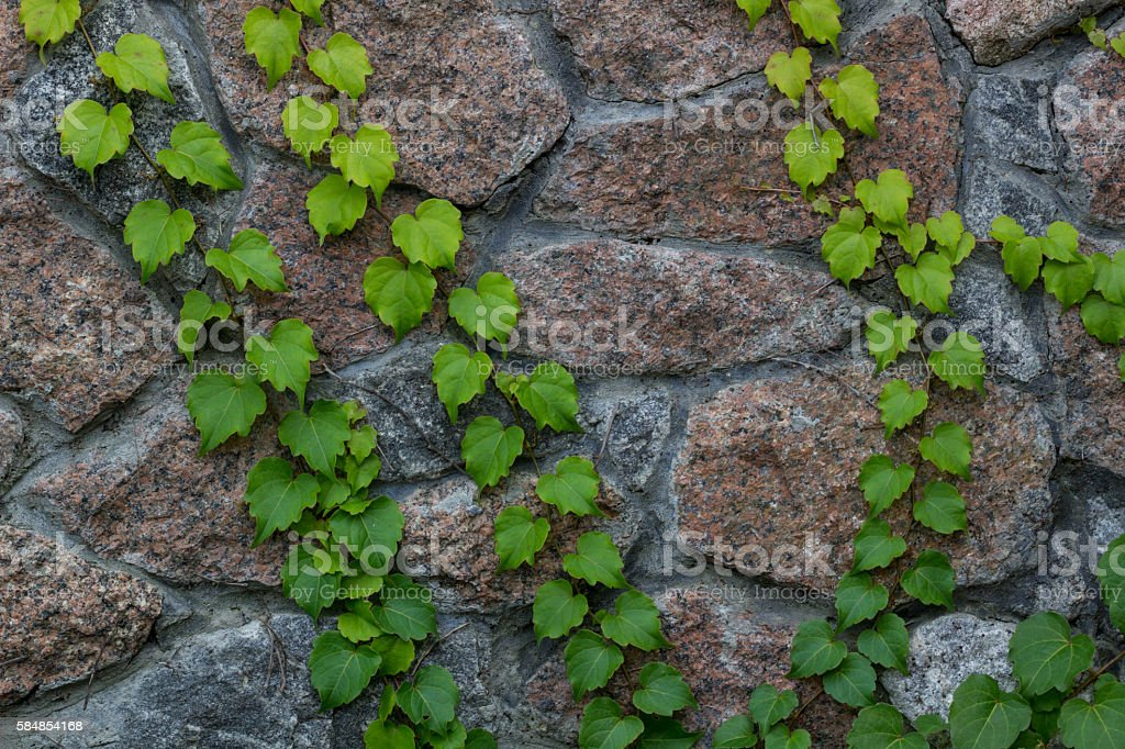 Green ivy climbs on brick wall natural background stock photo