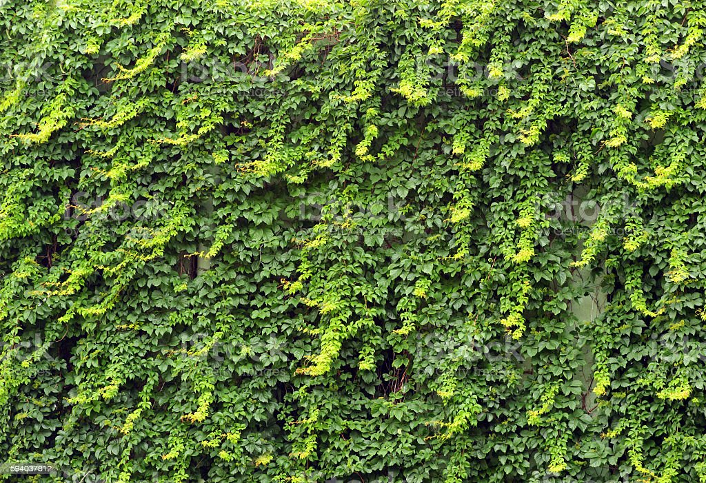 Green ivy cloaked wall stock photo