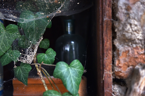 Green ivy leaves and spider web