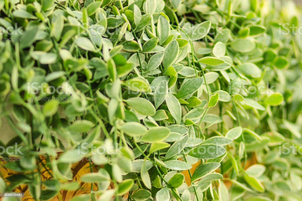 Green ivy leaves background of dave (Dischidia nummularia variegata), a fantastic green creeper plant that hanging for garden and interior decoration. Selective focus stock photo