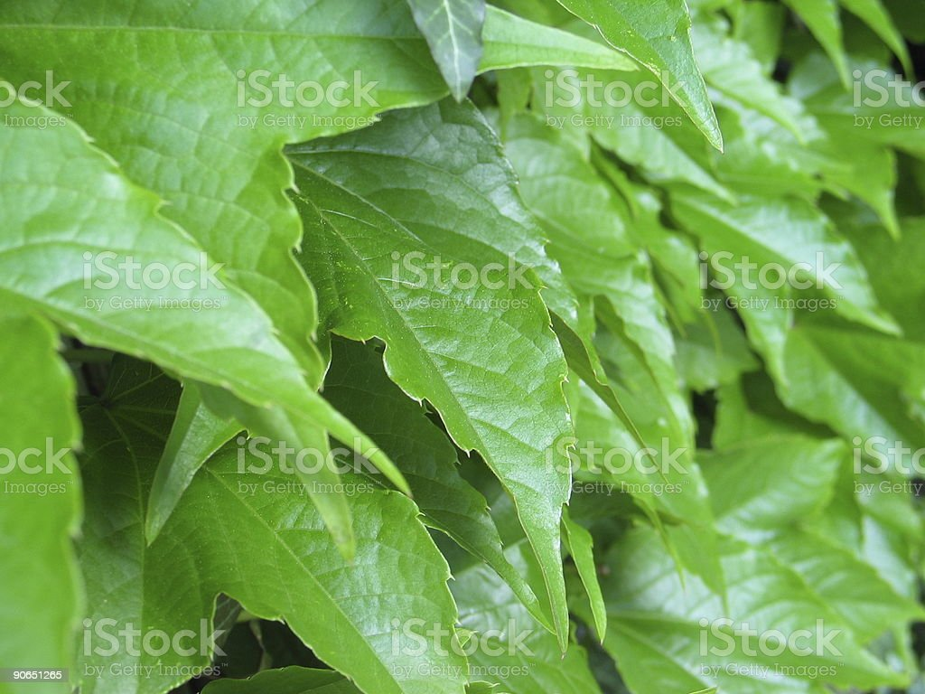 green ivy leaves close-up royalty-free stock photo