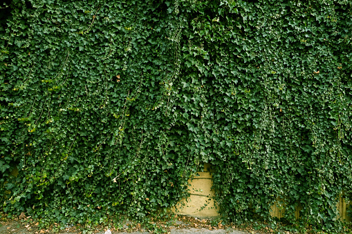 Green ivy leaves curls up the plaster wall. Textured background of leaves. Green plant wall texture for backdrop design and eco wall and die-cut for artwork. A lot of leaves.